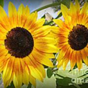 Sunflowers In Full Bloom Poster