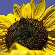 Sunflowers Poster by John Holloway