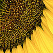 Sunflowers Of Summer Poster