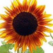 Sunflowers Petals Of Light Poster