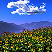Sunflowers... Poster