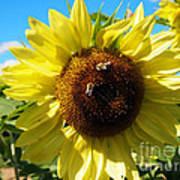 Sunflowers With Bees Harvesting Pollen Poster