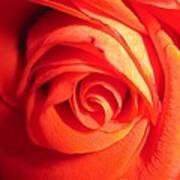 Sunkissed Orange Rose 11 Poster