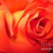 Sunkissed Orange Rose 6 Poster
