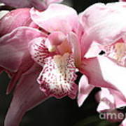Sunlight On Pink Orchid Poster
