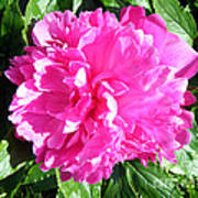 Sunlight On The Peony Poster