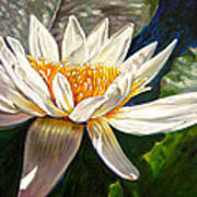 Sunlight On White Lily Poster