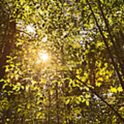 Sunlight Shining Through A Forest Canopy Poster
