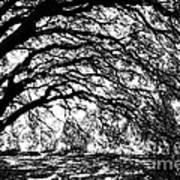 Sunlight Through Spanish Oak Tree - Black And White Poster