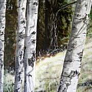 Sunlit Aspens Davis Creek Montana Poster