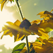 Sunlit Daisies Poster