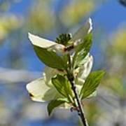 Sunlit Dogwood Blossoms Poster