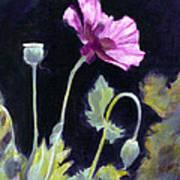 Sunlit - Icelandic Poppy Poster