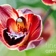 Sunlit Miniature Orchid Poster by Kaye Menner