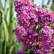 Sunlit Purple Crepe Mertle Poster