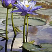 Sunlit Purple Lilies  Poster