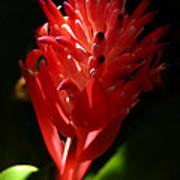 Sunlit Red Bromeliad 2 Poster