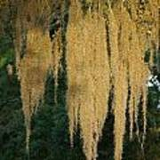 Sunlit Spanish Moss Poster
