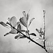 Sunlit Sprig Of Leaves In Black And White Poster by Natalie Kinnear