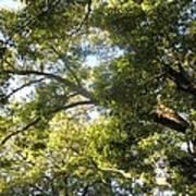Sunlit Tree Tops Poster