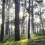 Sunlit Trees Poster