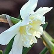 Sunlit White Daffodil Poster