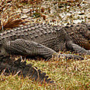 Sunning Alligator. Wetlands Park. Poster