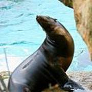 Sunning Sea Lion Poster