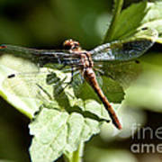 Sunny Dragonfly Poster