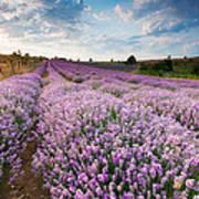 Sunny Lavender Poster