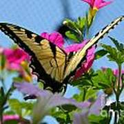 Sunny Tiger Swallowtail  Poster