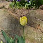 Sunny Yellow Tulips Series  Picture B Poster