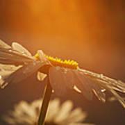 Sunset Daisy Poster