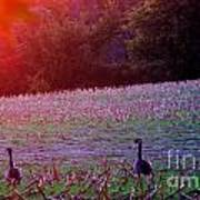 Sunset On Mallards Poster
