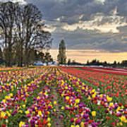 Sunset Over Tulip Flower Farm In Springtime Poster