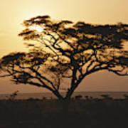 Sunset Through A Silhouetted Acacia Poster