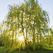 Sunset Willow Poster