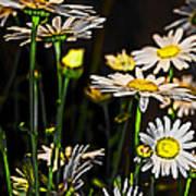 Sunshine Daisies Butter Mellow Poster