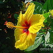 Sunshine Yellow Hibiscus With Red Throat Poster