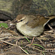 Swainsons Warbler Poster