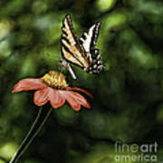 Swallow Tail Butterfly Poster
