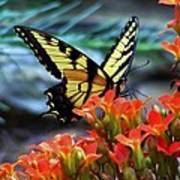 Swallow Tail Butterfly Posing Poster