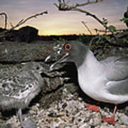 Swallow-tailed Gull And Chick In Pebble Poster by Tui De Roy