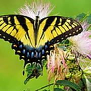 Swallowtail And Mimosa Poster