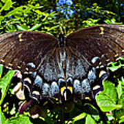 Swallowtail Butterfly Poster by Susan Leggett