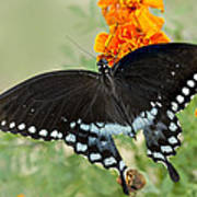 Swallowtail Butterfly With Marigolds Poster