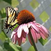 Looking Up At Swallowtail On Coneflower Poster
