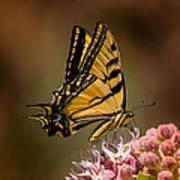 Swallowtail On Milkweed Poster