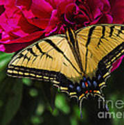 Swallowtail On Peony Poster