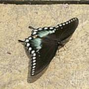 Swallowtail On The Rocks Poster